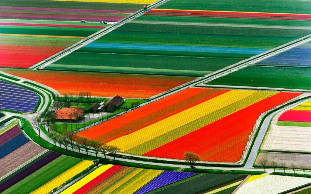 Plantações de tulipas na Holanda.
